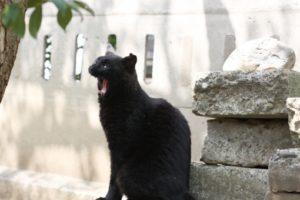 欠伸をする黒猫