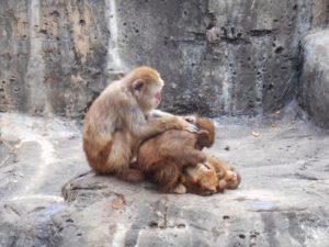 肩をもんでいる猿