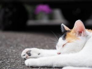 寝ている三毛猫