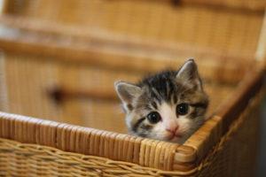 カゴから顔を出す子猫