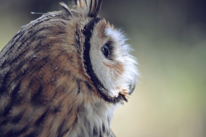 フクロウの横顔